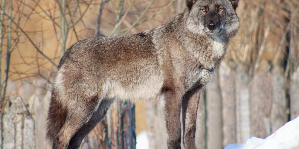 Built By She - Black Canadian wolf looks out for its prey. Animal wildlife.